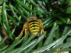 Wasp concealed in pine needles